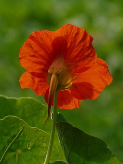 Tropaeolum Majus, Flower, Blossom, Bloom, Orange