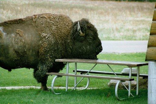 Bison, Severe Head, Picnic