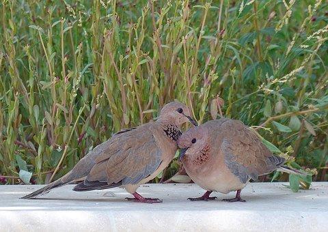 Palm Doves, Pigeon, Birds, Dubai