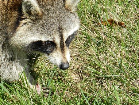 Raccoon, Animal, Mammal, Procyon Lotor, Face, Nature