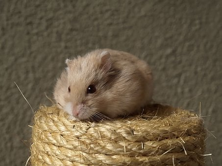 Hammy, Hamster, Cat Scratch Post, Tawny, Red Eyes, Cute