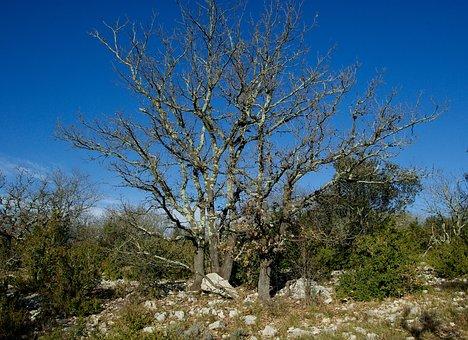 Dead Tree, Oak, Scrubland, Boxwood