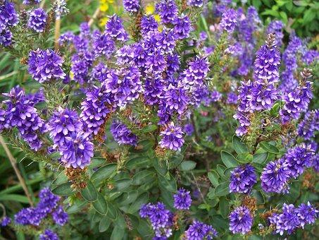 Hebe, Purple Pixie, Flower, Shrub, Bush, Purple, Plant