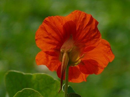 Tropaeolum Majus, Flower, Blossom, Bloom, Orange