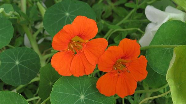 Nasturtium, Orange, Tropaeolum, Blossom, Bloom