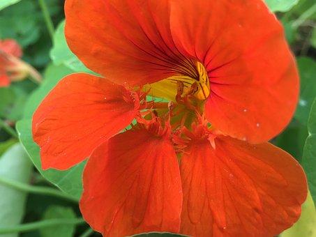 Nasturtium, Tropaeolum, Edible, Tropaeolaceae, Blossom