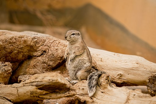 Earth Hamster, Squirrel, View, Watch, Look, Curious
