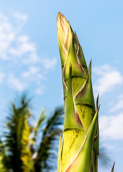 Agave Root, Agave Flower, Agave