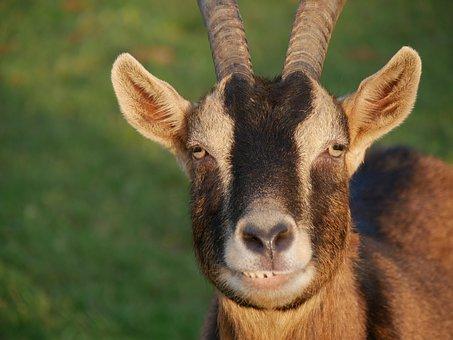 Goat, Brown, Animal, Nature, Billy Goat, Mammal
