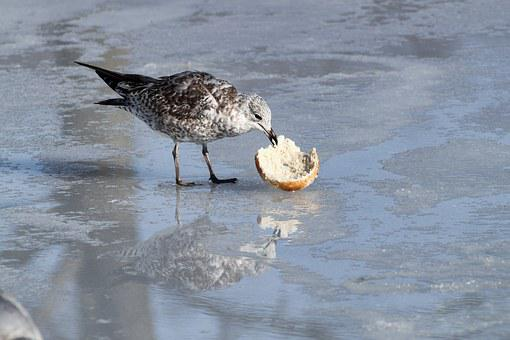 Seagull, Eating, Ice, Bagel, Reflection, Closeup
