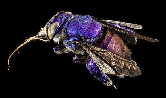 Bee, Orchid Bee, Native Bee, Iridescent, Beauty