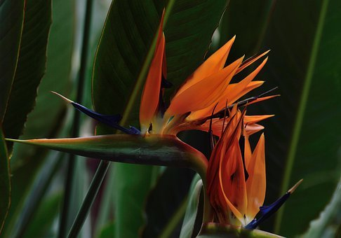 Bird Of Paradise, Flower, Royal Botanical Gardens
