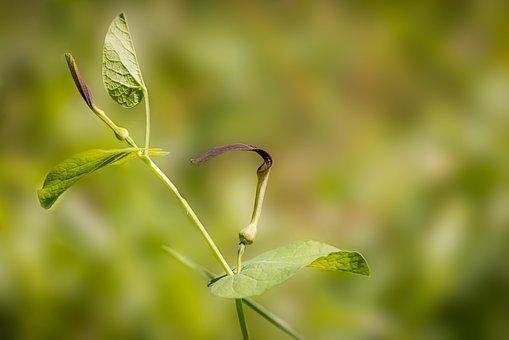 Aristolochia Rotunda, Brown Flower, Spring