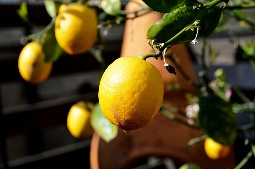 Lemon, Tree, Fruit, Citrus, Food, Ripe, Fresh, Organic