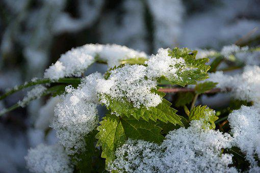 Snow, Stinging Nettle, Snowy, First Snow, Cold