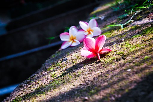 Araliya, Plumeria, Flower, Sri Lanka