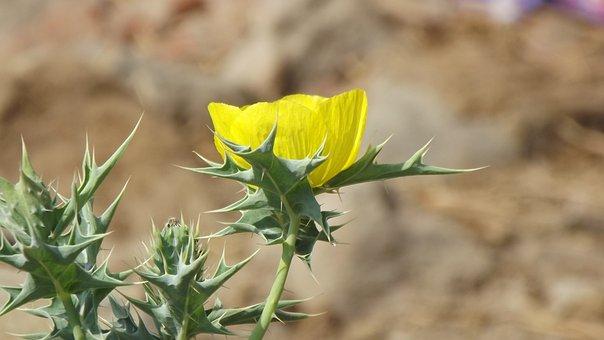 Flower, Cactus Flower, Yellow Flower, Nature, Plant