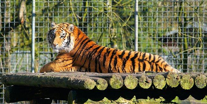 Tiger, Cat, Predator, Big Cat, Mammal, Mackerel, Park