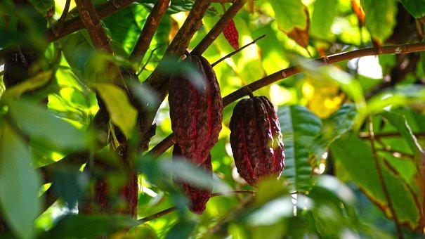 Chocolate, Cocoa, Color, Light, Reunion Island, Nature