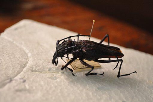 Beetle, Insect, Tropical, Nature, Exoskeleton, Bug