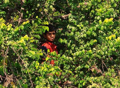 Boy On Tree, Picking Fruits, Tree, Dharwad, India