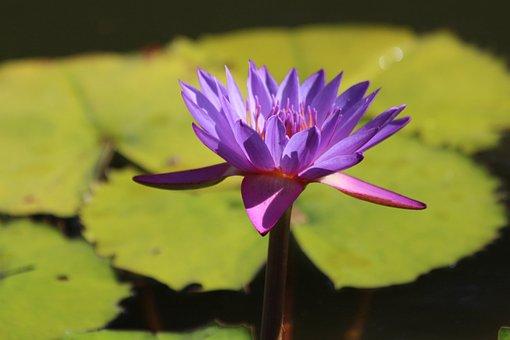 Lily Stellate, Nymphaea Nouchali, Water Plants, Plants