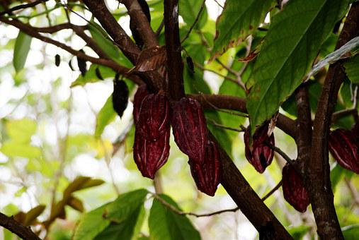 Cocoa, Nature, Leaf, Branches, Tree, Reunion Island