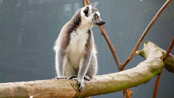 Monkey, Ring-tailed Lemur, Maki, Long Tail, Animal