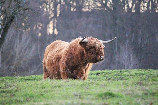 Highland Bull, Highland Cattle, Kyloe, Scottish Beef