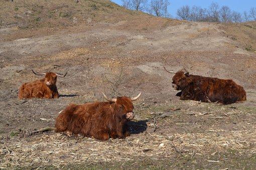 Scottish Highland Cow, Highland Cattle, Kyloe, Cows
