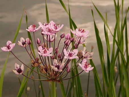 Water Viole, Flower, Cottbus, Spreeauenpark