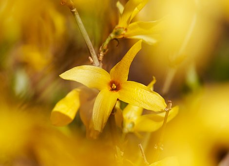 Forsythia, Affix, Yellow, Spring, Flowers