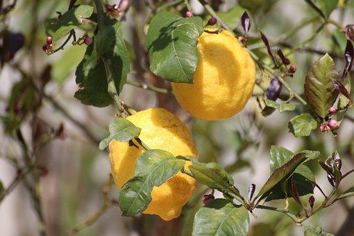 Lemon, Tree, Nature, Fruit, Yellow, Lemons, Citrus