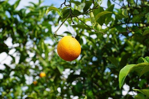 Mandarin, Tree, Citrus Fruits, Mediterranean