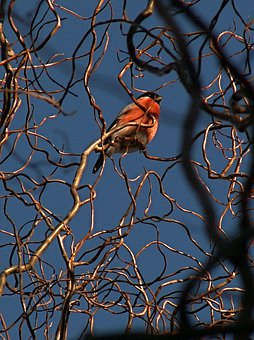 Bullfinch, Bird, Branches, Twisted Willow, Sky, Blue