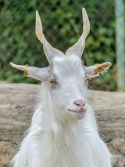 Girgentana Goat, Goat, Animal, White, Twisted Horns