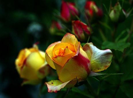 Rose Tea, Rose, Orange, Yellow, Rose Petals, Flower