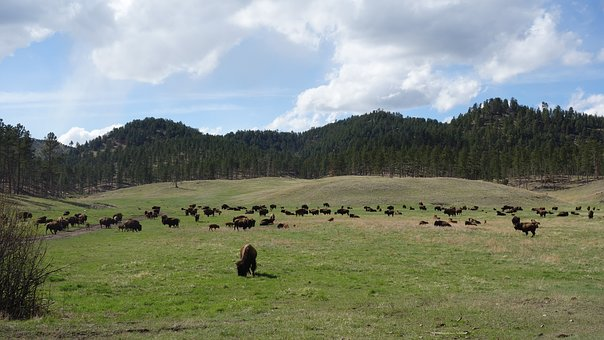 Buffalo, Bison, Yellowstone, National Park