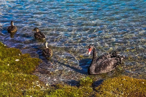 Black Swan, Queenstown, Bird, New Zealand