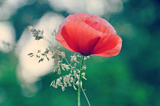 Poppy, Papaver, Flower, Sedge, Bloom, Blossom, Plant