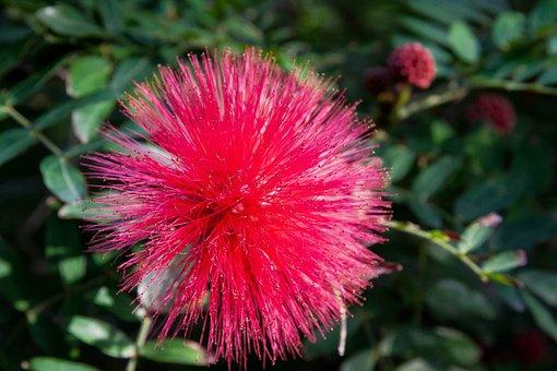 Calliandra Haematocephala, Blossom, Bloom, Plant
