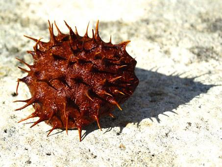 Chestnut, Prickly, Chestnut Shell, Spur, Brown, Reddish