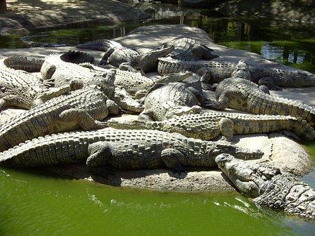 Crocodiles, Nature, Reptile, Dangerous, Wildlife