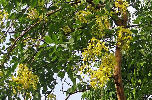Cassia Fistula, Golden Shower Tree, Amaltas, Flora