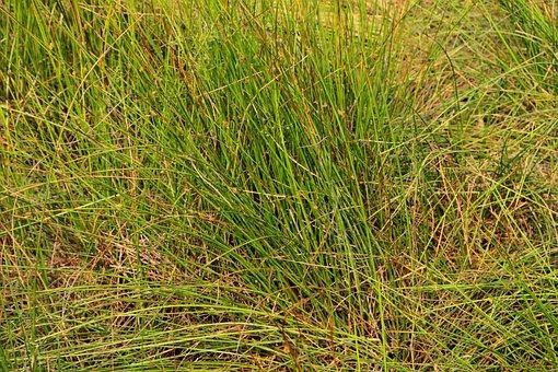 Bulrush, Clubrush, Cyperaceae, Grass, Green, Maritimus