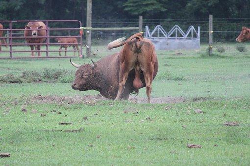 Bull, Cow, Farm, Bovine, Cattle, Agriculture, Mammal