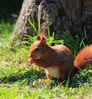 Squirrel, Red Squirrel, Rodent, Animal, Nature