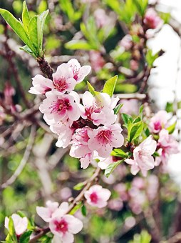 Primtemps, Pink Flowers, Cherry, Cherry Blossoms