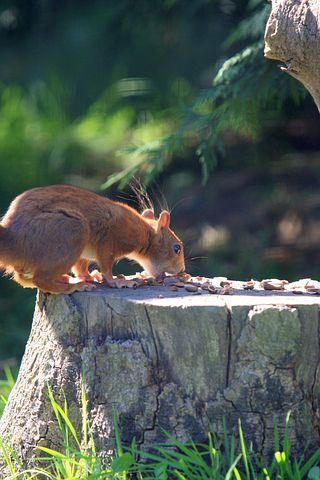 Red Squirrel, Animal, Red, Squirrel, Nature, Close-up
