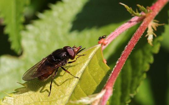 Snouts-schwebfliege, Rhingia Campestris, Insect, Fly
